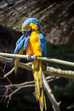 Parrot portrait of bird. Wildlife scene from tropic nature.  Royalty Free Stock Photos