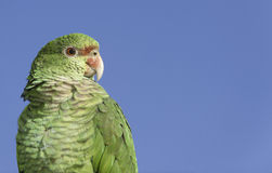 Parrot portrait with copy space. Parrot portrait looking to the right, with copy space Royalty Free Stock Images