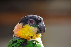 Parrot portrait. Parrot with green, yellow, orange and black feathers, portrait, profile close up view Royalty Free Stock Photography