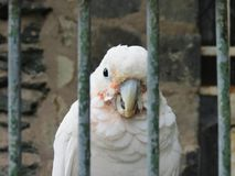 Parrot. Portrait of a parrot in prison Royalty Free Stock Photos