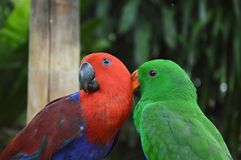 Parrot preen together Stock Photos