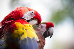 Parrot preening Royalty Free Stock Photography