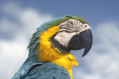 Parrot profile. Profile of colourful tropical parrot Royalty Free Stock Image