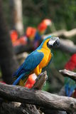 Parrot profile. Blue & yellow parrot perched on a branch infront of his friends Royalty Free Stock Photo