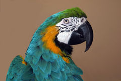 Parrot profile. Baby sitting max for a month Royalty Free Stock Photo
