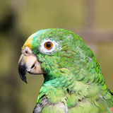 Parrot Psittaciformes portrait Caldas Colombia. One Parrot Psittaciformes portrait  face Caldas in Colombia South America Stock Photography