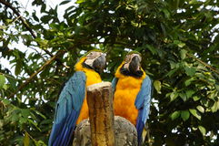 Parrot or psittacines Royalty Free Stock Photos