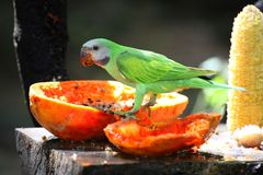 The parrot  (Psittacus torquata) Stock Photography
