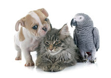 Parrot, puppy and cat. In front of white background Stock Photo
