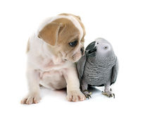 Parrot and puppy Stock Images