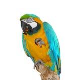 Parrot qui mange et salue Image libre de droits