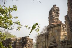 Parrot in the qutub complex Royalty Free Stock Photos