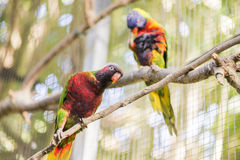 Parrot rainbow, trichoglossus haematodus Royalty Free Stock Images