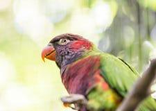 Parrot rainbow, trichoglossus haematodus Stock Photography