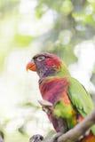Parrot rainbow, trichoglossus haematodus Stock Photos