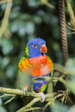 Parrot rainbow, trichoglossus haematodus Stock Photo