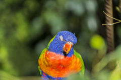 Parrot rainbow, trichoglossus haematodus Royalty Free Stock Photography