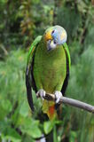 Parrot in the rainforest perching on a branch royalty free stock photo