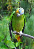 Parrot in the rainforest perching on a branch Stock Image