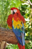Parrot - Red Blue Macaw Royalty Free Stock Images
