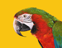 Parrot Red Blue Macaw Stock Photo