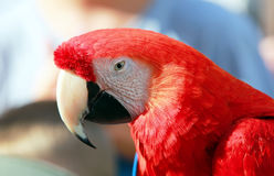 Parrot - Red Macaw Stock Images