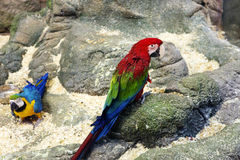 Parrot red macaw Royalty Free Stock Photography