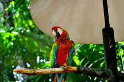 Parrot  in a rescue center in Costa Rica. Birds of the order Psittaciformes, found in most tropical zones Stock Images