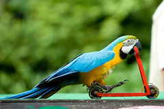 Parrot riding bicycle Stock Photos