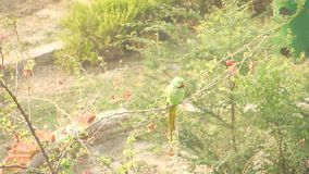 Parrot rose-ringed parakeet Psittacula krameri Indian parrot sitting on a tree branch twig looking around. Nature wildlife video footage stock video footage