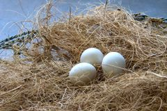 Parrot`s eggs in the nest. royalty free stock image