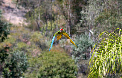 A Parrot's Flight Royalty Free Stock Image