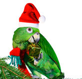 Parrot Santa. Green amazon parrot holding a golden gift package. Excelent motive for a funny Christmas card Stock Image