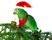 Parrot Santa 2. Green amazon parrot holding a golden gift package. Excelent motive for a funny Christmas card Stock Photography