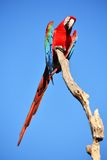 Parrot: scarlet macaw Royalty Free Stock Photos