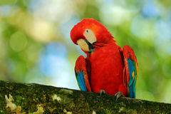 Parrot Scarlet Macaw, Ara macao, in dark green tropical forest, Costa Rica, Wildlife scene from tropic nature. Red bird in the for Stock Photography