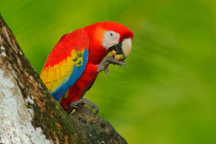 Parrot Scarlet Macaw, Ara macao, in green tropical forest with nut, Costa Rica, Wildlife scene from tropic nature. Red bird in the stock photos