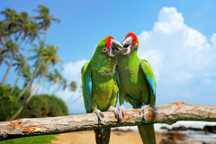 Parrot (Severe Macaw) on branch on tropical background Royalty Free Stock Photos