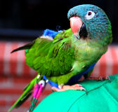 Parrot on the Shoulder Royalty Free Stock Image
