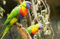 Colorful couple parrot sitting on log. stock image