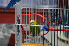 Parrot sits in a cage. A green wavy parrot sits in a cage stock photography