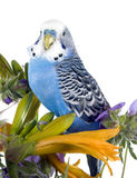 Parrot sits on a flower Royalty Free Stock Image