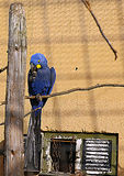 The parrot sitting on the branch. In front of an old building Royalty Free Stock Images