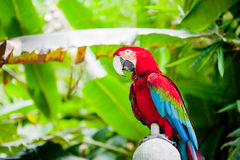 Parrot sitting on branch Royalty Free Stock Photography