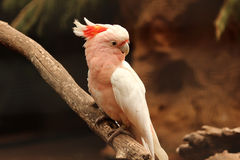 Parrot sitting on a branch. Colorful pink parrot sitting on a branch Royalty Free Stock Photos