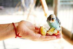 Parrot sitting on his hand and eating stock image