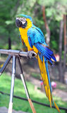 Parrot sitting on its perch Stock Photography