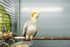 Parrot sitting on a stick in pet shop Stock Photo