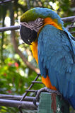 Parrot sleeping. A colorful parrot sleeping in Colombia stock photography