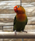 Parrot small green with red plumage near head Stock Photo